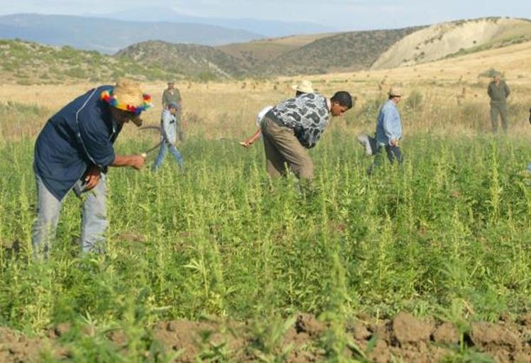 أمن وزان يوقف 11 متورطا في زراعة المخدرات