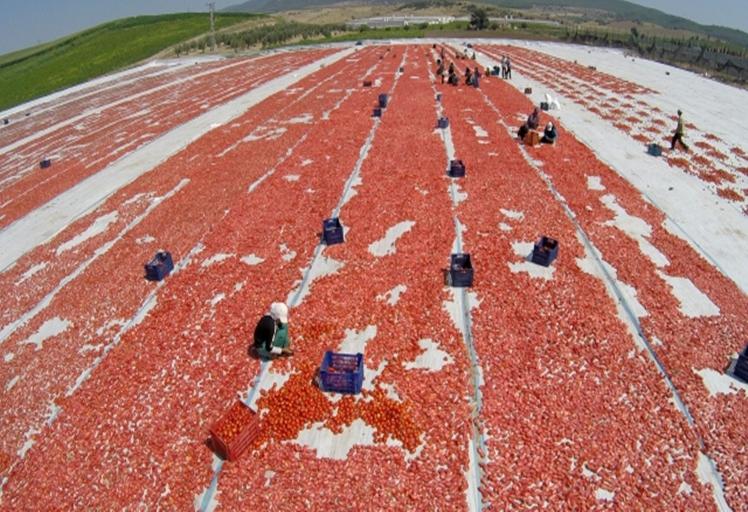 حجز 20 ألف طن من مسحوق الطماطم المجففة بالعرائش