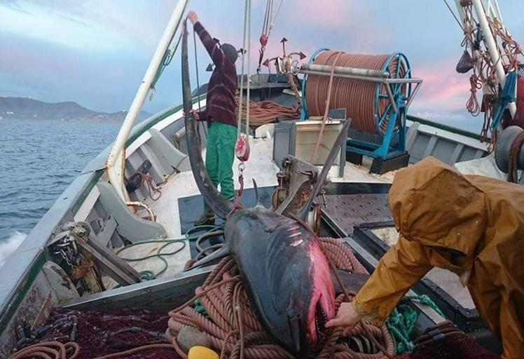 """بالفيديو: حقيقة وجود سمك """"القرش الأزرق"""" بسواحل الشمال"""