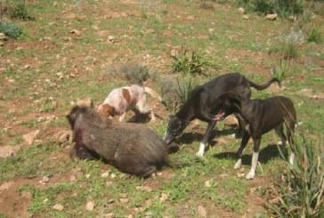 مديرية المياه والغابات تعطي انطلاقة عملية إحاشة الخنزير البري بجهة طنجة-تطوان-الحسيمة لحماية الساكنة والفلاحة