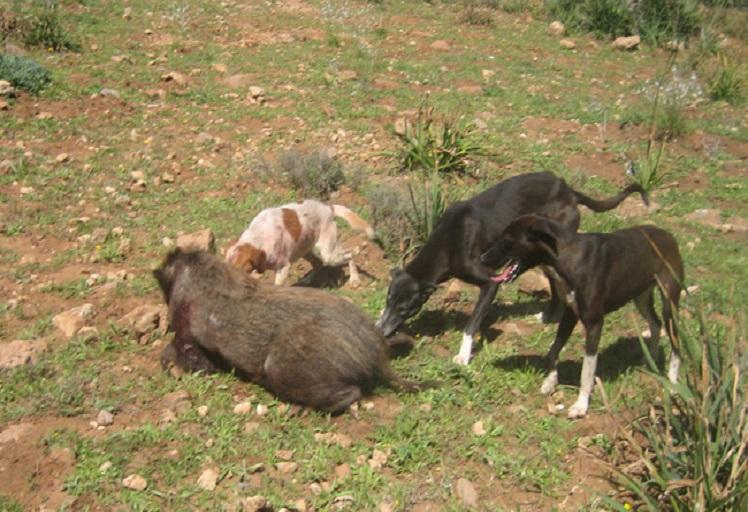 مديرية المياه والغابات تعطي انطلاقة عملية إحاشة الخنزير البري بجهة طنجة-تطوان-الحسيمة