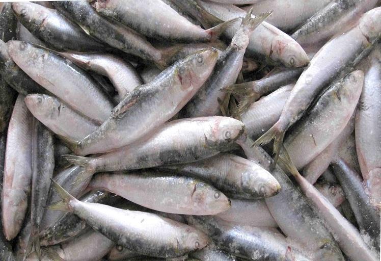 أسعار السمك تسجل انخفاضا بنسبة 70% بمدينة الحسيمة