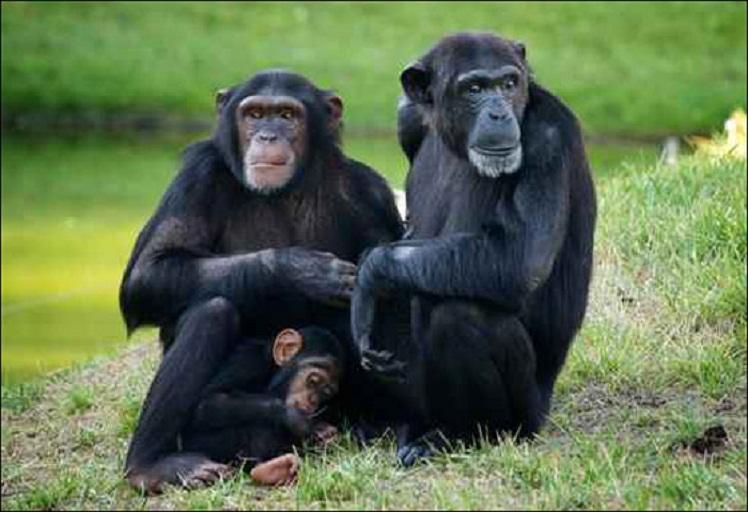 القرود.. منها بدأ انتشار الإيدز وعندها قد ينتهي
