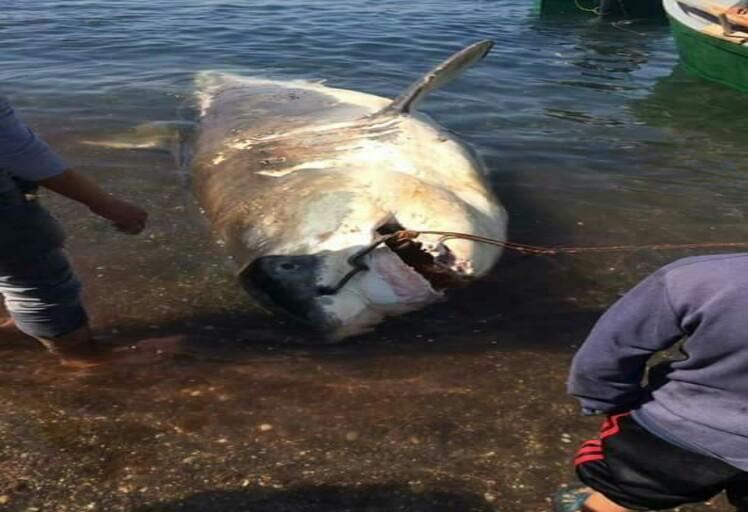 اصطياد سمك قرش سواحل الحسيمة يثير الرعب في نفوس الصيادين