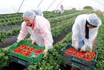 أزيد من 10 الاف مغربية مطلوبين للعمل في حقول الفراولة والحوامض بأسبانيا