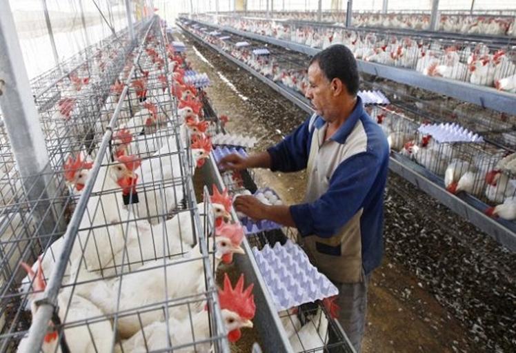 فيروس مجهول يلهب أسعار الدجاج والبيض في الأسواق المغربية